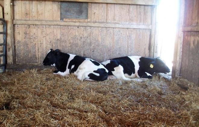 Les éleveurs laitiers subissent la pression tarifaire de Lactalis