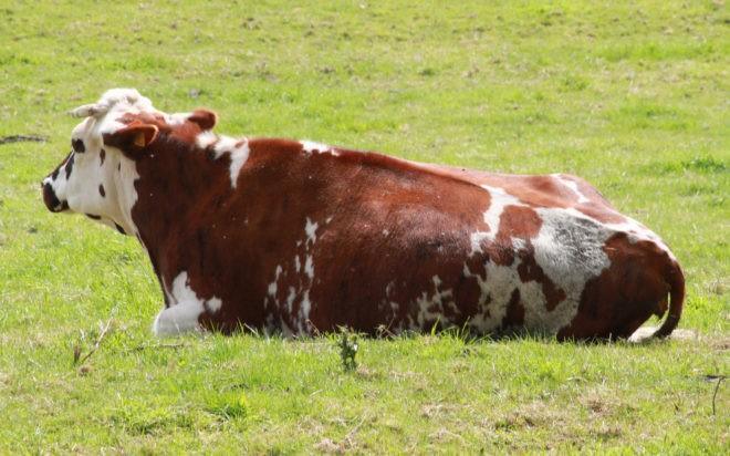 Photo d'illustration, une vache